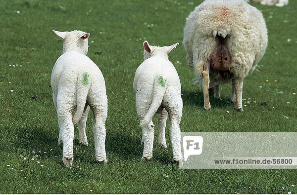 Zwei Lamm auf Wiese Zwei Lamm auf Wiese