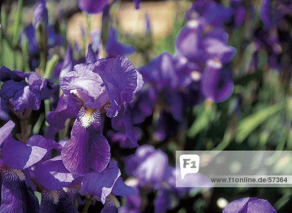 Purple Iris Blumen blühen im Feld