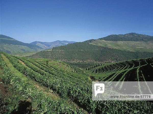 Weingut auf Hügellandschaft unter blauen Himmel  Douro Valley  Portugal