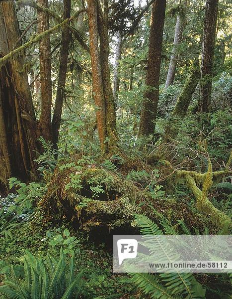 Trees in forest  West Coast Trail   Vancouver Island  British Columbia  Canada