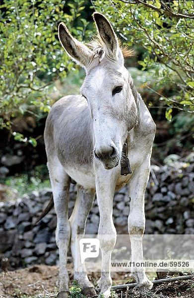 Donkey standing in field  La Gomera  Canary Islands  Spain