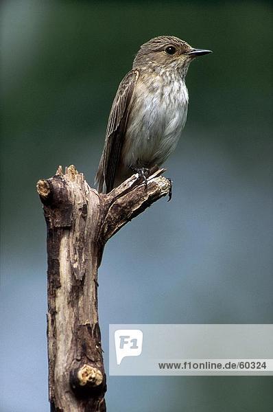 Nahaufnahme-Spotted Fliegenschnäpper (Musicapa Striata) hocken Vogel Zweig