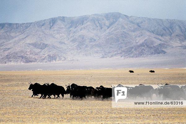 China  Wild yaks