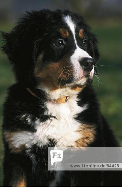 Close-up of puppy of berner sennenhund