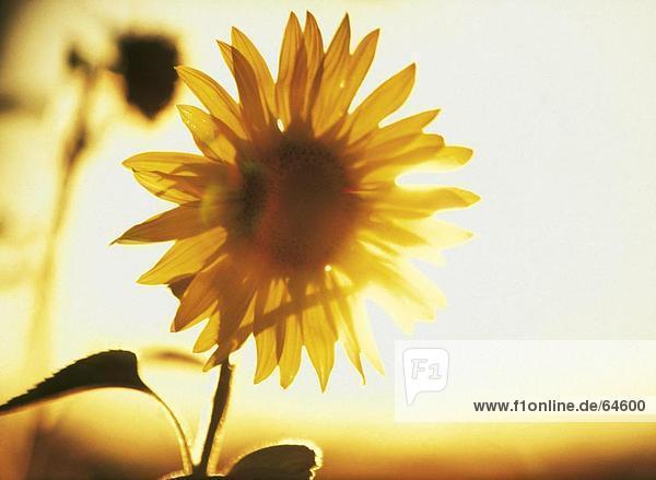 Nahaufnahme der blühenden Sonnenblume (Helianthus Annuus)