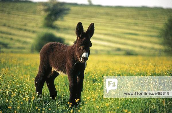 Foal of Poitou donkey standing in field