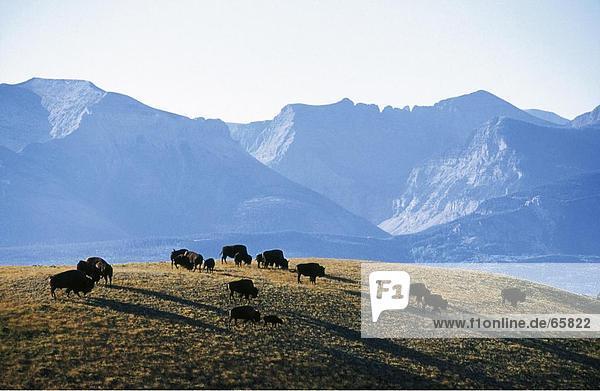 Herde von amerikanischer Bison (Bison Bison) Weiden Feld  Yellowstone National Park  Wyoming  USA