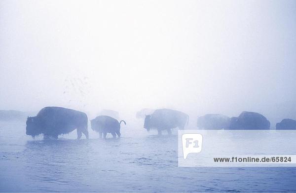 Herd of American Bison (Bison bison) walking in lake  Yellowstone National Park  Wyoming  USA