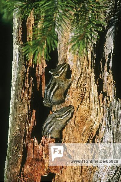 Close-up of two squirrels making holes on tree trunk  Yellowstone National Park  Wyoming  USA