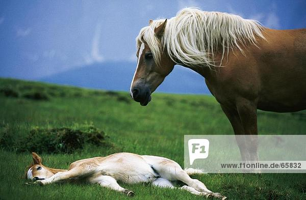 Haflinger horse with its foal in field