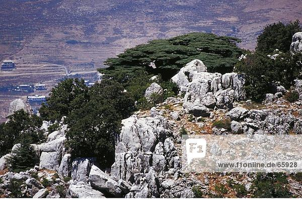 Zedernbäume auf dem Hügel  Al Shouf Cedar Nature Reserve  Chouf  Libanon