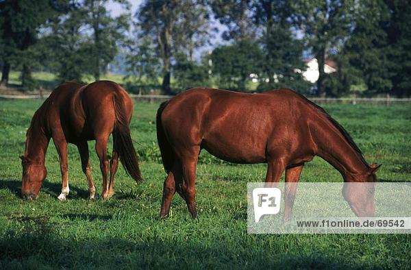 Zwei Pferde grasen in Feld  Zinnowitz  Usedom  Mecklenburg-Vorpommern Deutschland