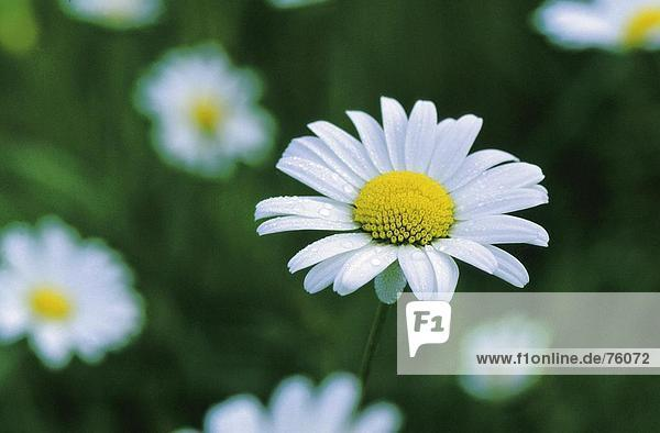 10643052  Blume  Blumen  blühen  Polka  blüht  blüht  Botanik  Chrysanthemum Leucanthemum  Nahaufnahme  Gänseblümchen  Detai