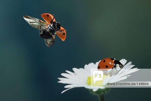 Nahaufnahme von Marienkäfer bestäubenden Gänseblümchen-Blume