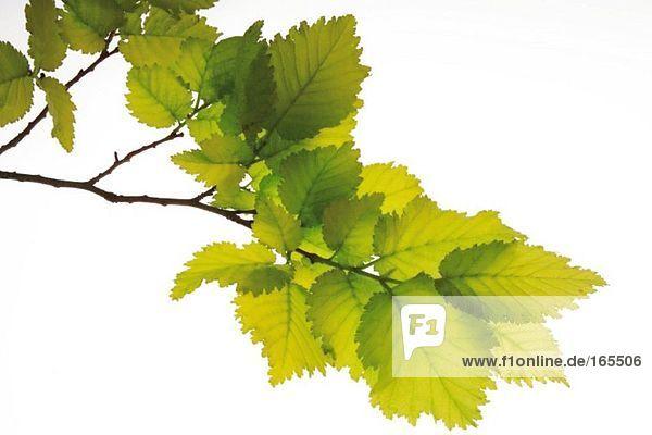 Junge Ulmenblätter (Ulmus)  Nahaufnahme