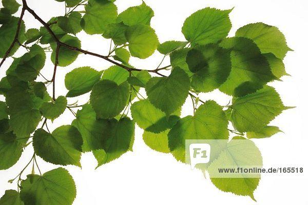 Lindenblätter  (Tilia)  Nahaufnahme