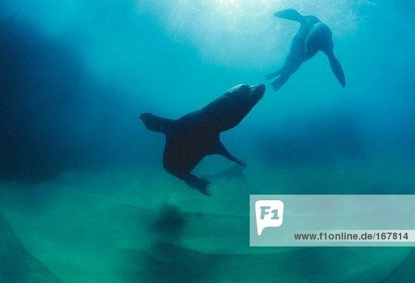 Unterwasseraufnahme Säugetier Mexiko Seelöwe Halbinsel Wildtier
