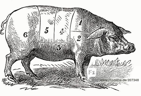 Schwein (Illustration)