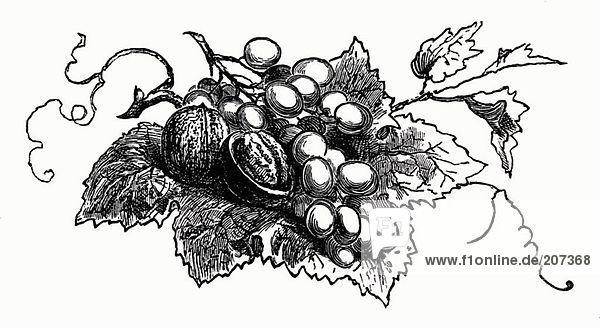 Walnüsse und Trauben auf Weinblatt (Illustration)