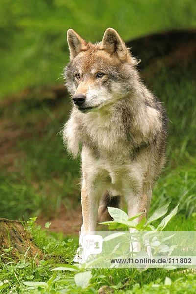 Grey wolf (Canis lupus) standing in forest  Bavarian Forest National Park  Bavaria  Germany
