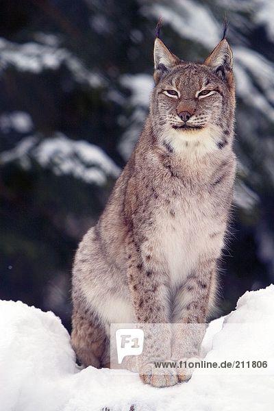 Lynx (Lynx Lynx) standing in snow  National Park Bayerischer Wald  Germany