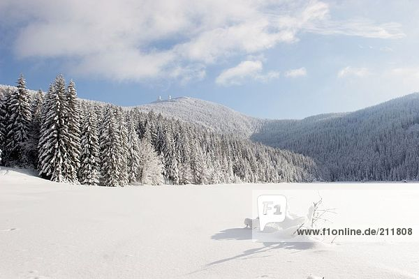 Snow covered trees in forest  Bavarian Forest  Bavaria  Germany