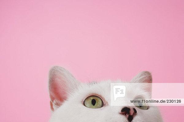 Weiße Katze schaut nach oben
