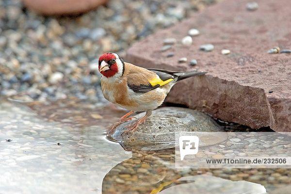 Nahaufnahme der Stieglitz (Carduelis Carduelis) Vogel auf Stein