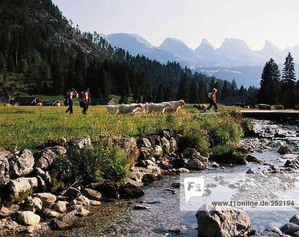 10074519  Folklore  Tradition  Nanny Ziegen  Geißen  Berge  Abend  Sonne  Alp  Alp  Abzug  Appenzell  Schweiz
