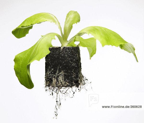 Grüne Pflanze mit Erde