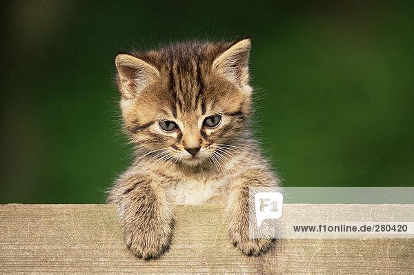 Kätzchen blickt über den Zaun