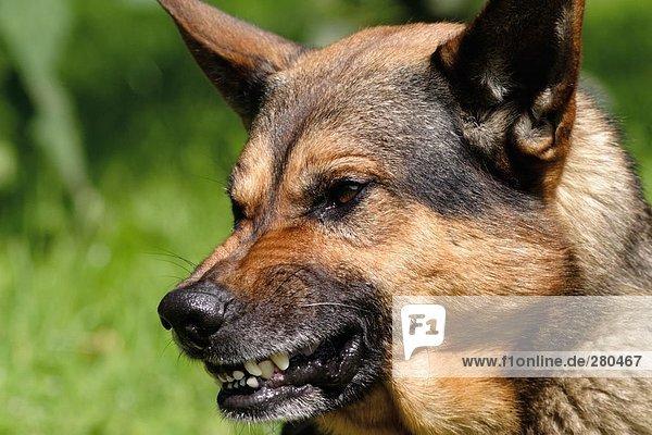 german shepherd growling - photo #11