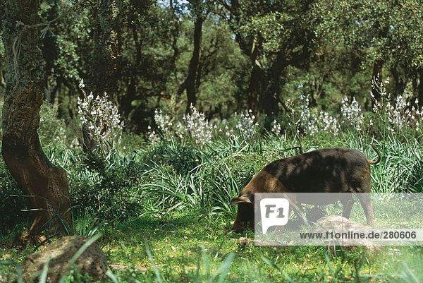 Pig foraging in field  Giara Di Gesturi  Sardinia  Italy