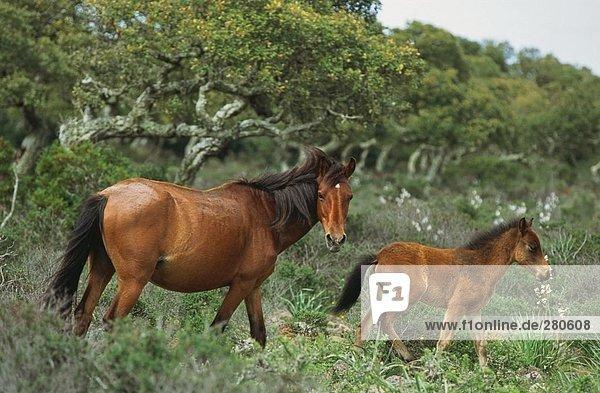 Horse walking with foal in field  Giara Di Gesturi  Sardinia  Italy