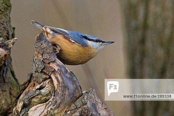 Nahaufnahme der Kleiber (Sitta Europaea) Vogel hocken auf Baumstumpf