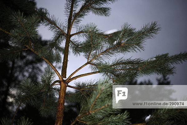 Nahaufnahme Tannenbaums