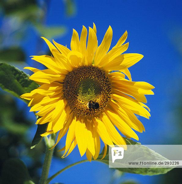 Ein gelbes sonnenblume.