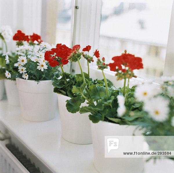 Blume Fensterbank