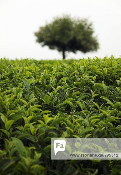 Eine Teeplantage in Kenia.