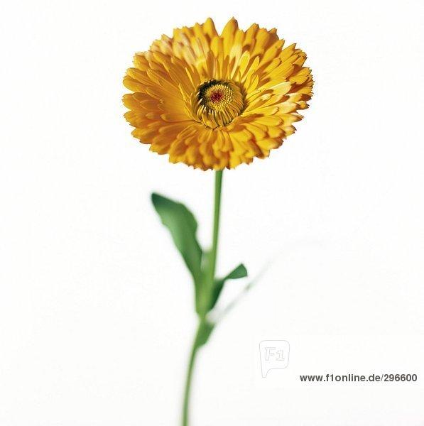 Eine gelbe Marigold mit einem weißen Hintergrund Nahaufnahme.
