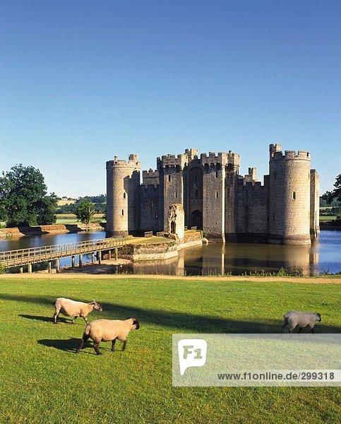 Schafe vor der Burg  Bodiam Castle in Sussex  England