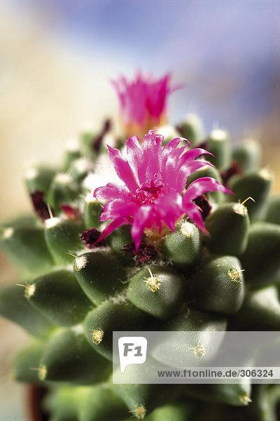 Stacheln und Blüte des Kaktus  Nahaufnahme