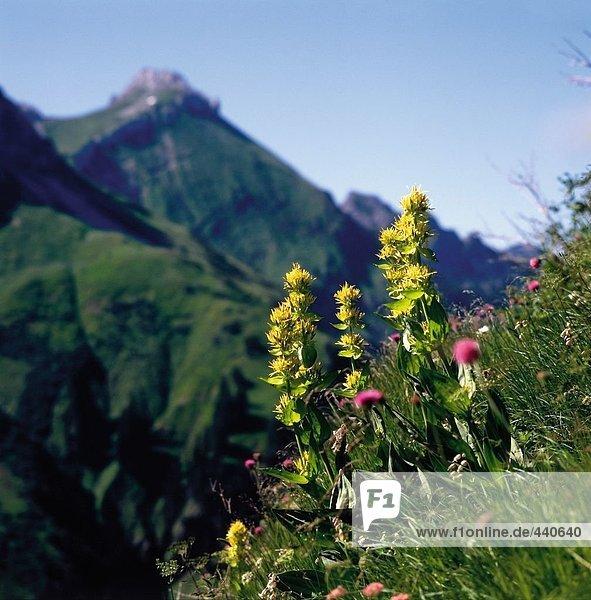 Nahaufnahme der Blumen blühen auf Hügel  Allgäu  Bayern  Deutschland
