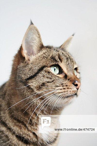 Nahaufnahme-Katze
