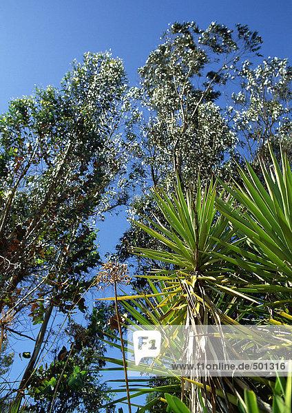 Tropische Bäume  flacher Blickwinkel