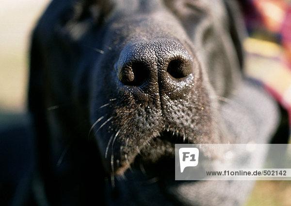 Die Nase eines schwarzen Hundes.