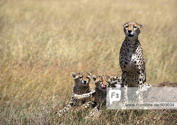 Afrika  Tansania  Geparden in Savanne