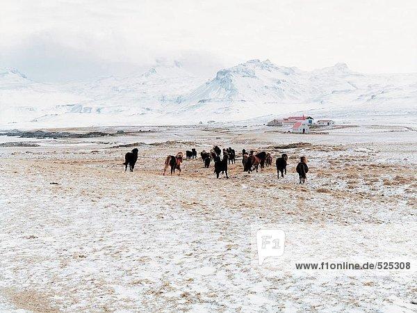 Herde von Islandpferden