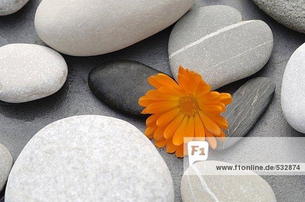 Ringelblumenblüte zwischen Steinen
