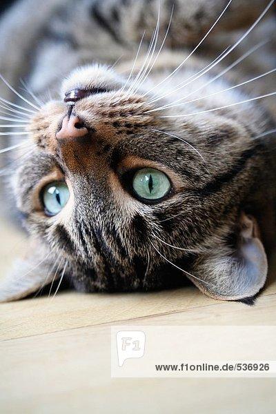 Nahaufnahme Katze liegend auf Holzfußboden